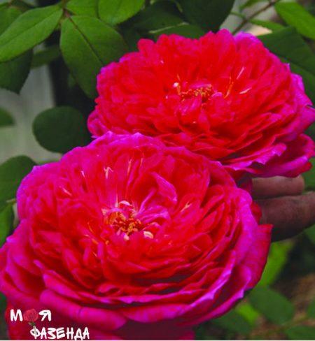 Bengamin Britten роза