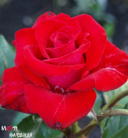 Роза Кардинал 85