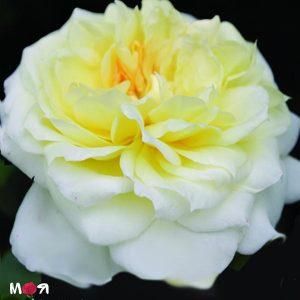Чайковский роза