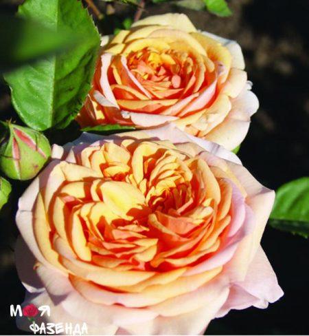 charlz-ostin rose