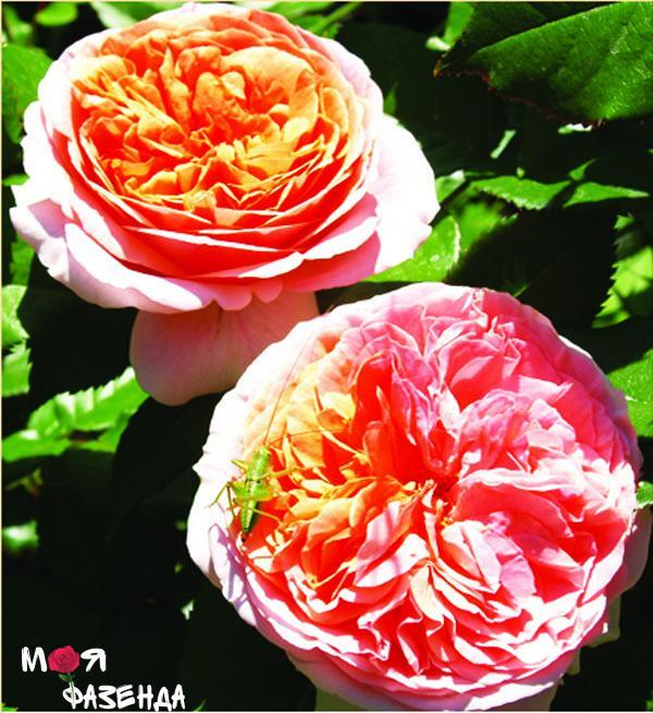 Чип и Дейл роза