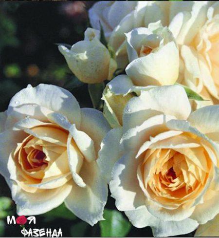 Космос роза
