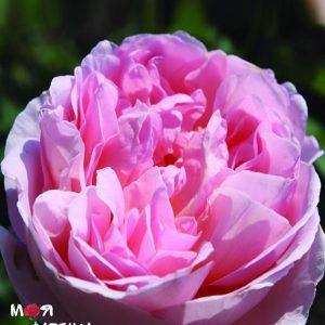 Дам дэ Шенонсо роза