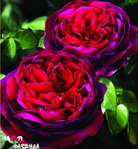 Дарк Леди роза