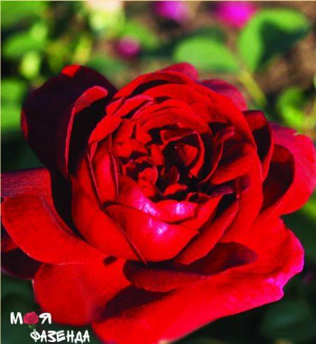Дарси Базл роза