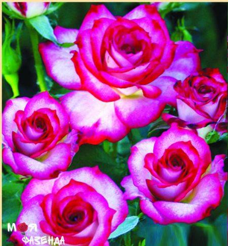 Дей дрим роза