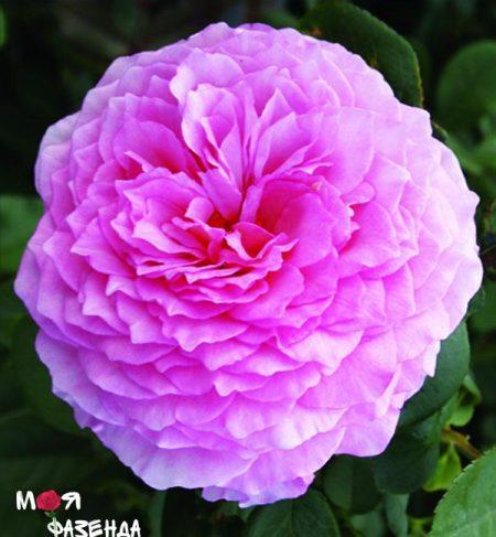 Джеймс Галвей роза