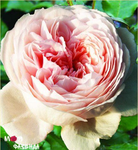 Джеф Гамильтон роза