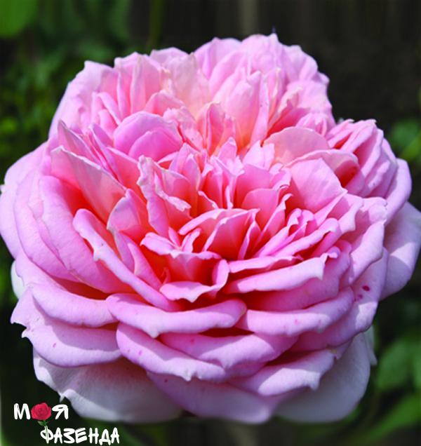 Джубили Селебрейшн роза