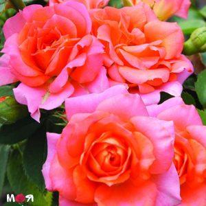 Динго роза