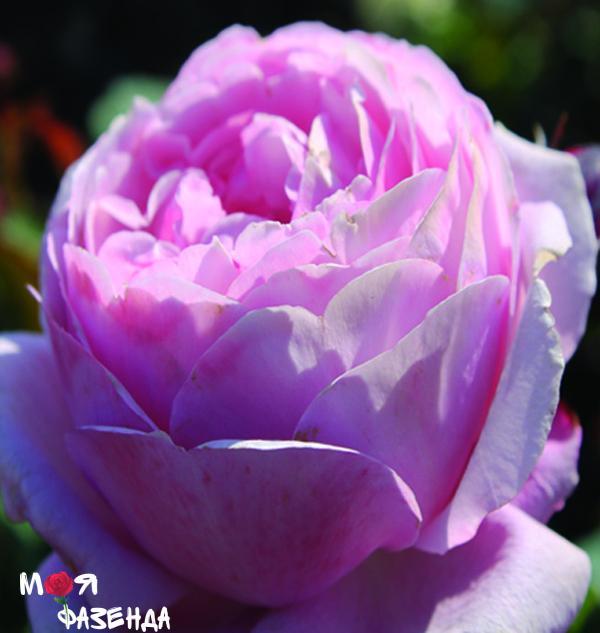Диттер Мюллер роза