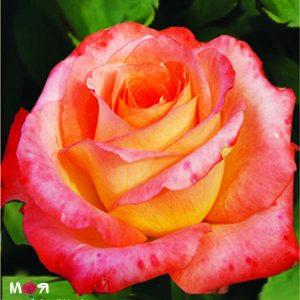 Эквадор роза