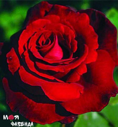 Эдит Пиаф роза
