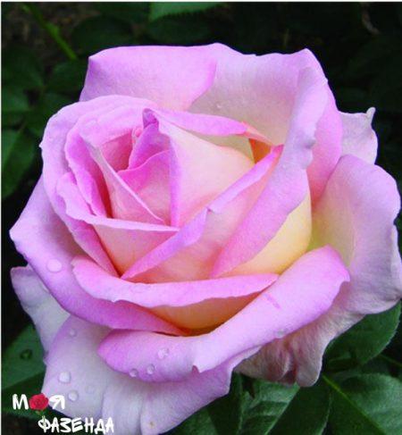 Эль роза