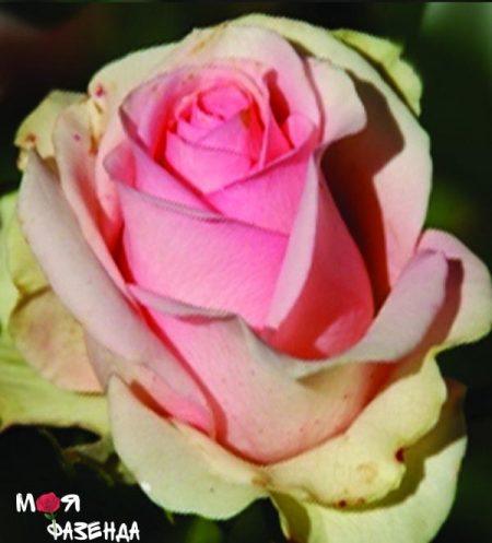 Эсперанс роза