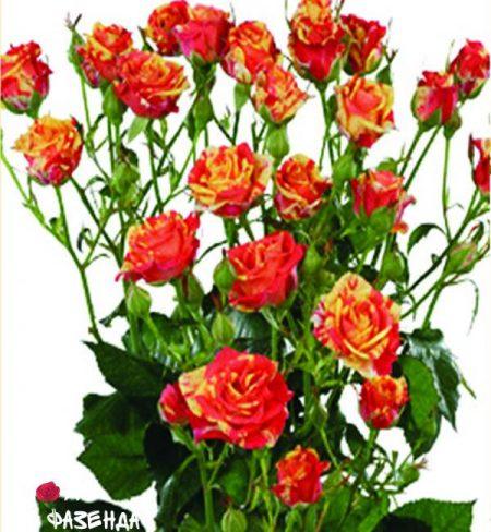 Фаер Флеш роза