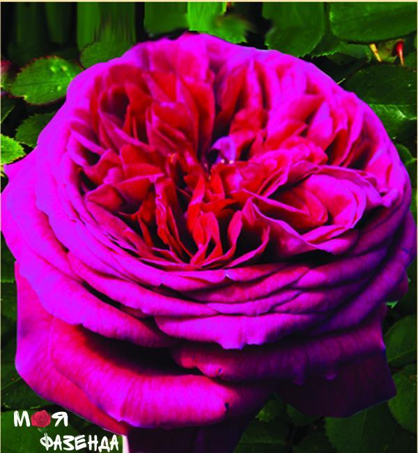 Фальстаф роза