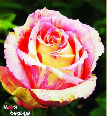Фиеста роза