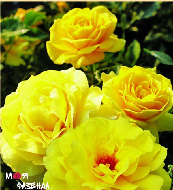 Фрезия роза