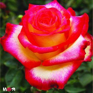 Френдли роза