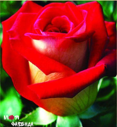 Френдшип роза