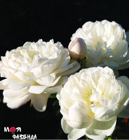 rose-games-kasl