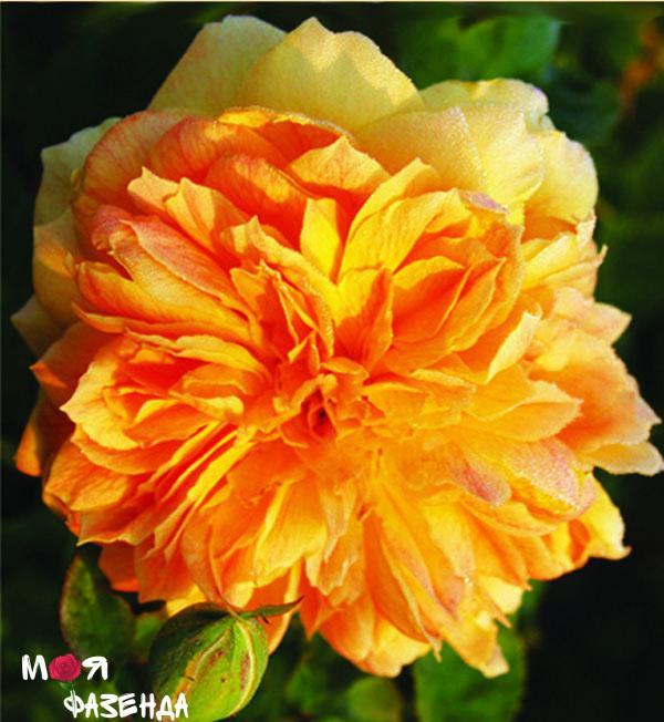 Жан Жино роза