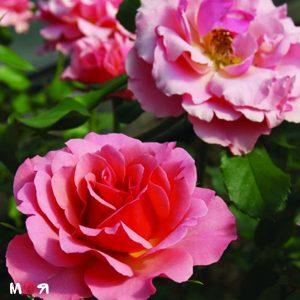 Жан Кокто роза