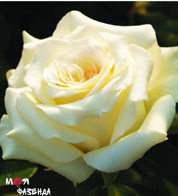 Жан Морро роза