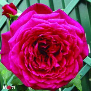 Гете роуз