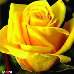 Голд роза