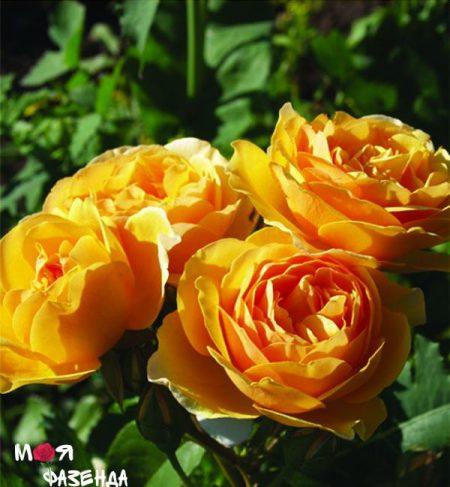 Роза Голд Парфум