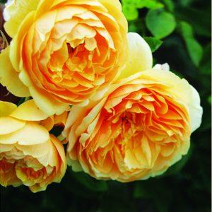 Голден Селебрейшн роза