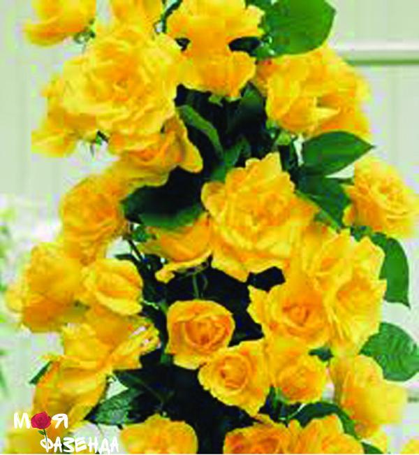 Роза Голден Шоу