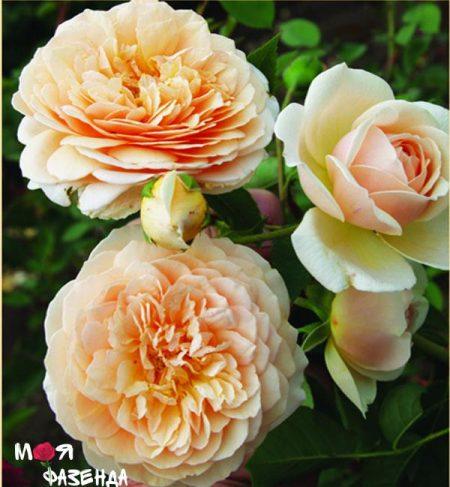 Грейс роза