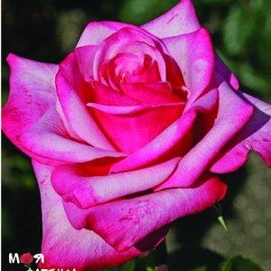Графиня Соня роза