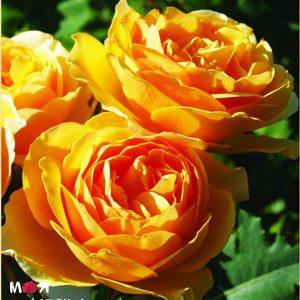 Грехам Томас роза