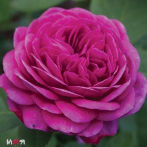 Хайди Клум роза