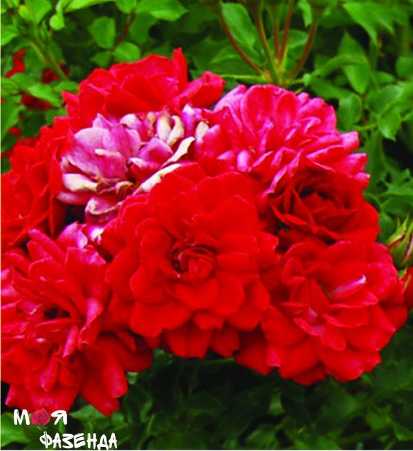 Хеллоу роза