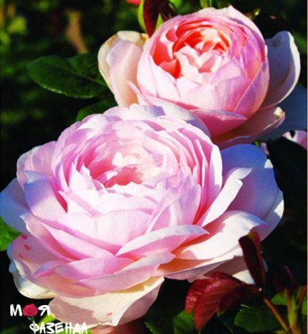 Херитеж роза