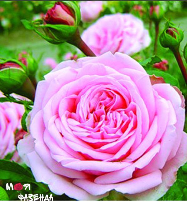 Хоум энд Гарден роза