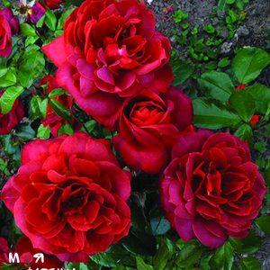 Хот Шоколад роза