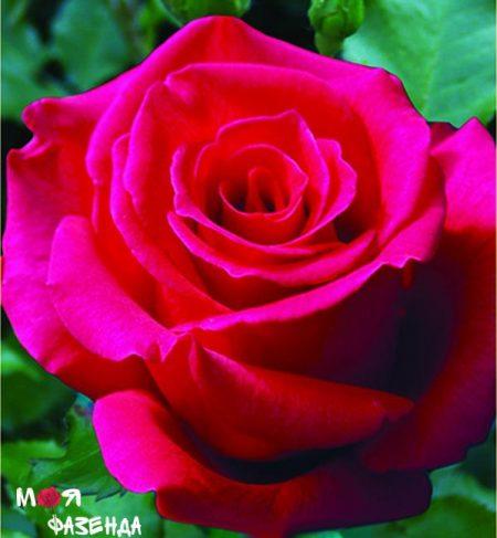 Хот Леди роза