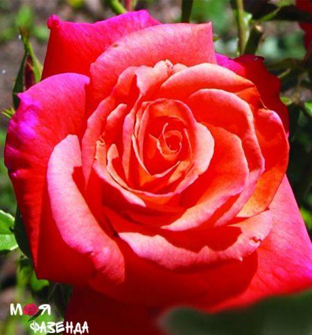 Роза Христофор Колумб