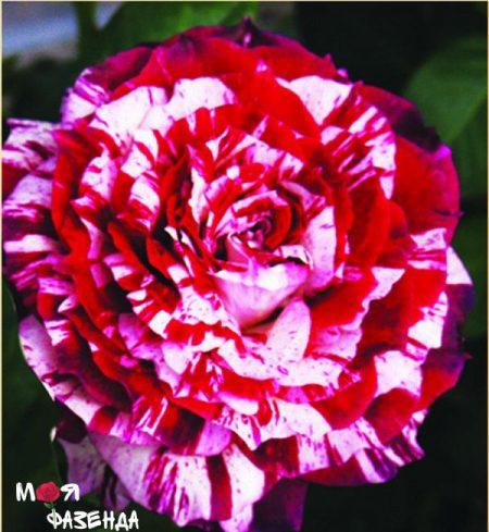 Хулио Иглессиас роза