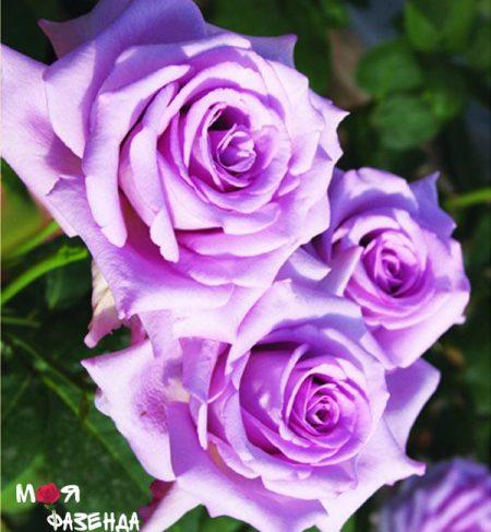Индиголетта роза