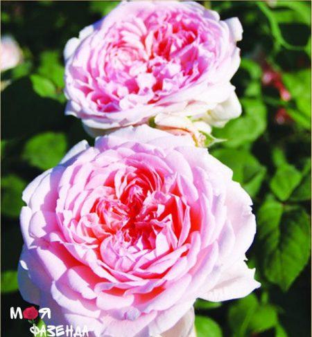 Инглантин роза
