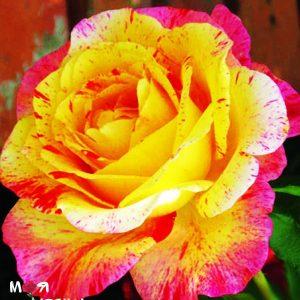 Камиль Писсаро роза