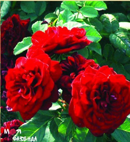 Кардула роза
