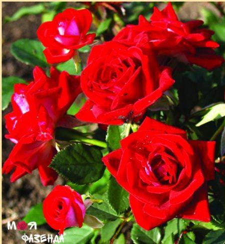Роза Карибия